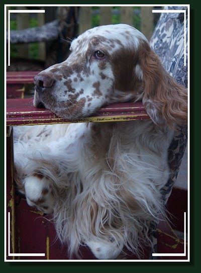 Setter Anglais ** Autumn Colors ** English Setter dog breeder